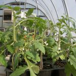 These tomato plants are exhibiting epinasty or a downward growth of the leaves in response to ethylene produced from a malfunctioning heater in a greenhouse. The topmost leaves are growing normally because the plants were removed to a separate greenhouse after exposure to ethylene. (Photo by Dan Egel).