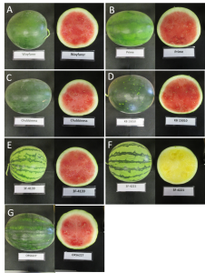Figure 1. Seedless watermelon varieties in 2016 variety trial that have unique rind patterns