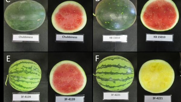 Watermelon Variety Considerations