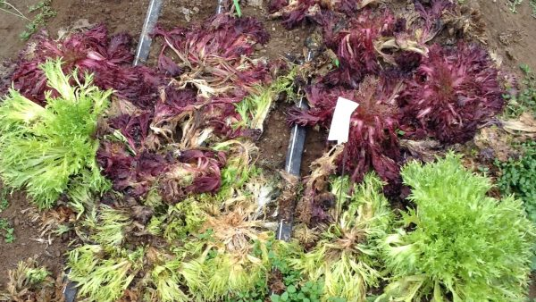 Problems in Overwintered Salad Greens – White Mold and Tip Burn