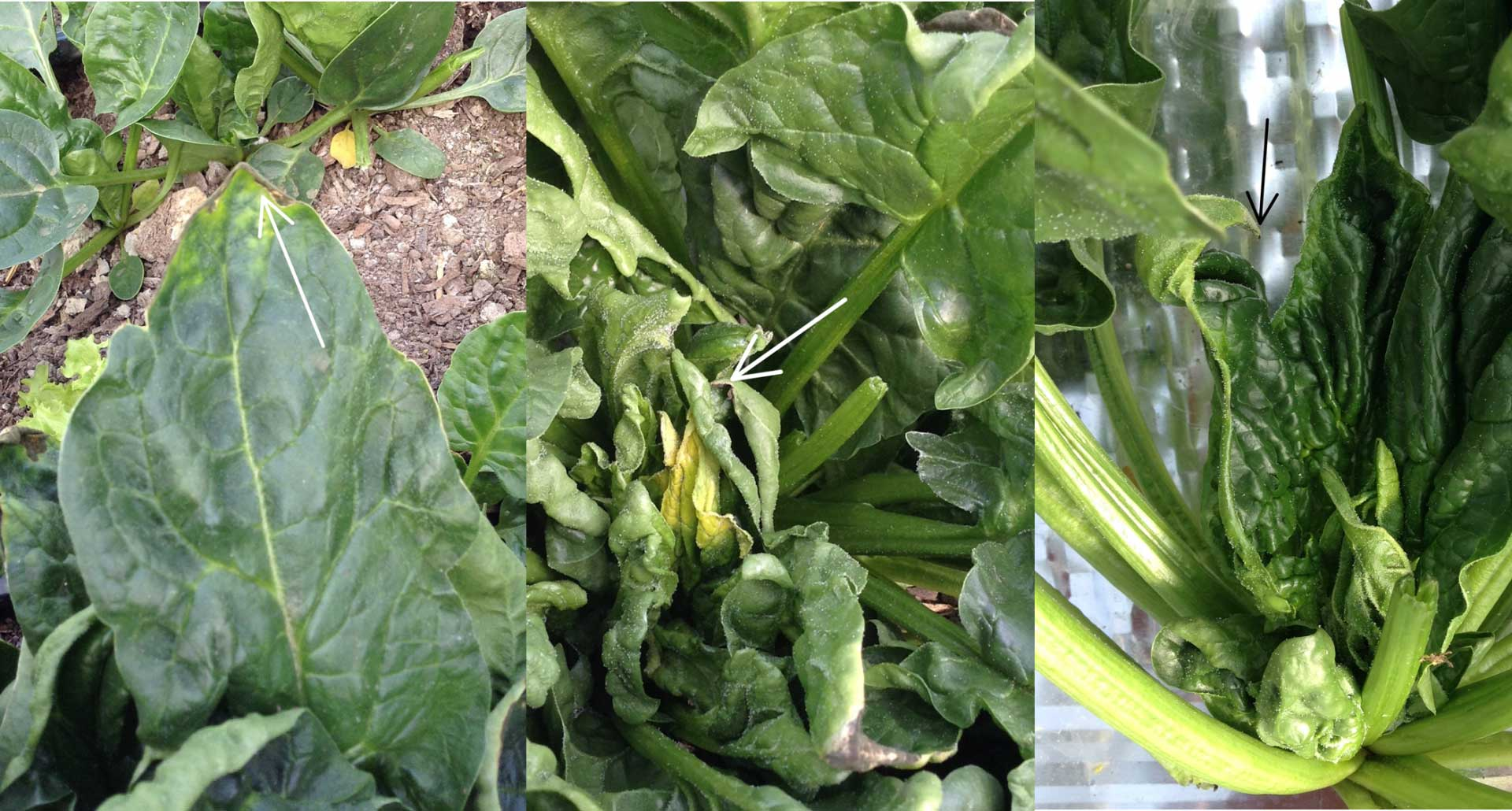 Problems in Overwintered Salad Greens – White Mold and Tip