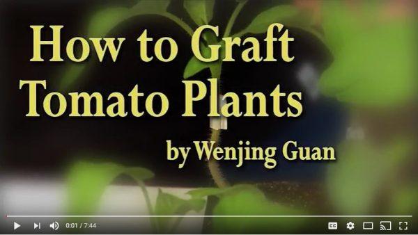 How to Graft Tomato Plants