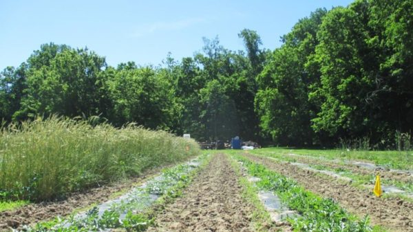 Opportunities for Growing Grafted Watermelons