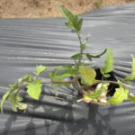 Figure 1. A tomato plant showing nutrient deficiency symptoms.
