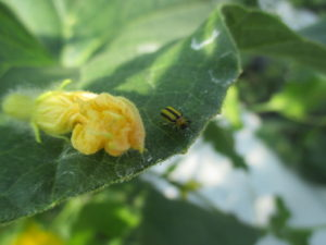 Figure 1. Stripped cucumber beetle (Photo by Wenjing Guan)