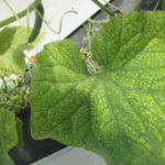 Figure 1. Spider Mites damage on cucumbers in a high tunnel