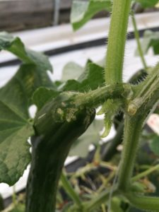 Figure 1. Cucumber beetle damage on cucumber fruit (photo credit Wenjing Guan)