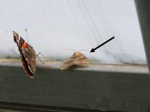 Figure 3. European corn borer moth (right) in high tunnel  (photo by Liz Maynard)