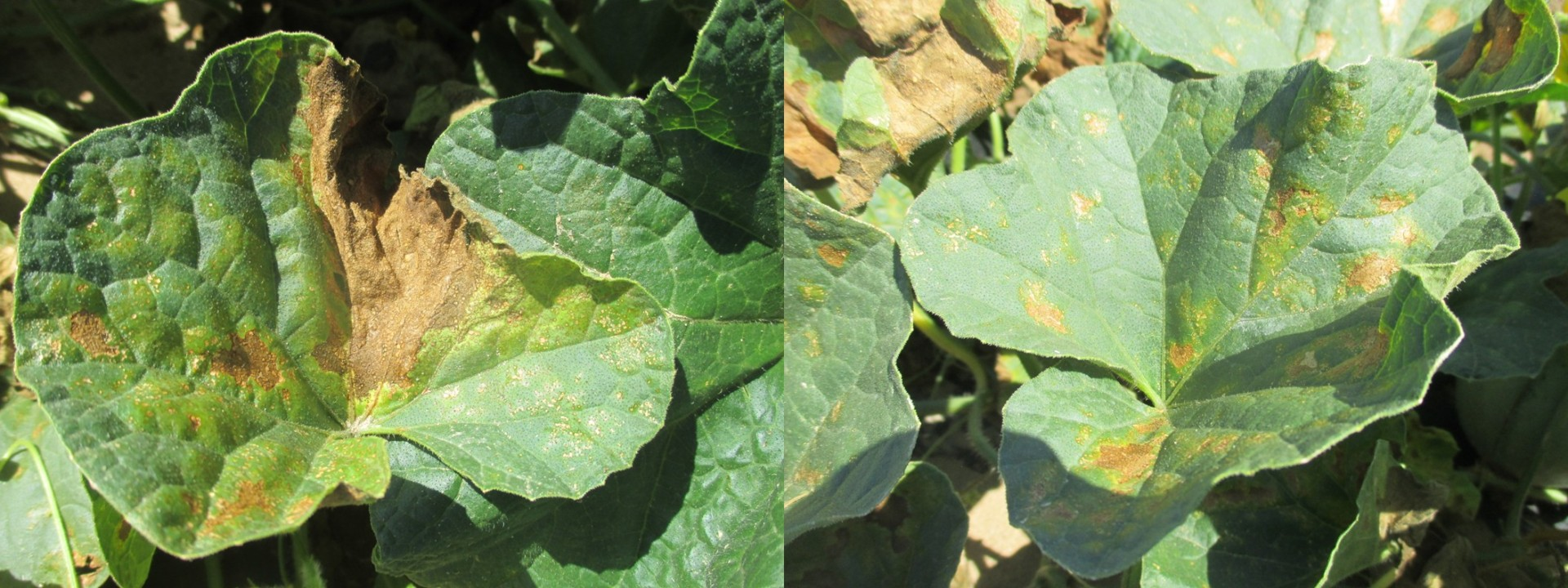 Figure 3. Necrosis lesions on the leaves affected by manganese toxicity.