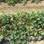 Figure 5. Breakdown and death of older cantaloupe leaves caused by manganese toxicity.