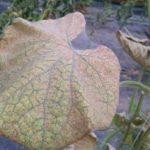 Figure 3. Webbing produced on heavily infested cucumber leaves by two-spotted spider mite.