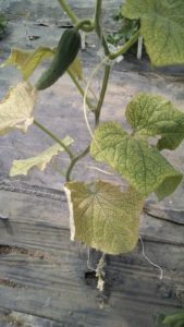 Figure 2. Yellow speckles on the upper surface of cucumber leaves heavily infested by two-spotted spider mites.
