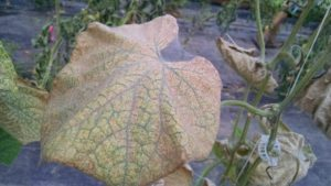 Figure 2. Webbing produced on heavily infested cucumber leaves by two-spotted spider mite.