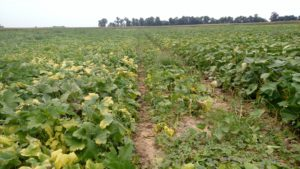 Figure 3: The pumpkin plants in the foreground of this photos have yellow leaves.