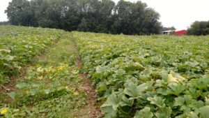 Figure 4: The pumpkin leaves at the bottom of the hill are generally green and healthy.