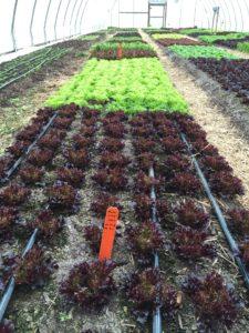 Figure 2. Multi-leaf lettuces grown in a high tunnel (photo credit: Liz Maynard)