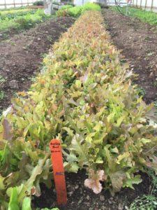 Figure 1. Baby-leaf lettuce grown in a high tunnel (photo credit: Liz Maynard)