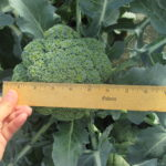 Figure 3. Broccoli ready to harvest.