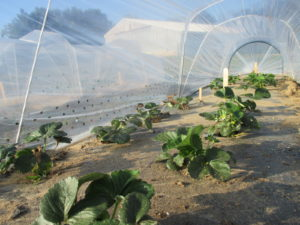 Figure 1. Strawberries grown under retractable low tunnels.