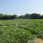 Figure 1. Watermelon variety trial at Southwest Purdue Agricultural Center.