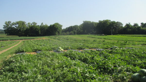 Using Grafted Watermelon Plants in Indiana