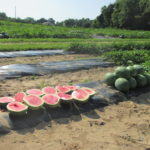 Figure 1. Watermelon variety trial at Southwest Purdue Ag Center.