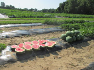 Watermelon variety evaluation at the Southwest Purdue Ag Center.