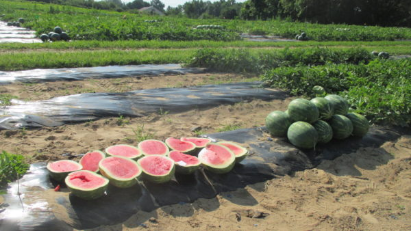 Top Performing Watermelon Varieties in the 2017 Indiana Watermelon Variety Trial