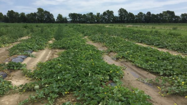 2017 Field Evaluation of Specialty Cantaloupe and Charentais Melon Varieties