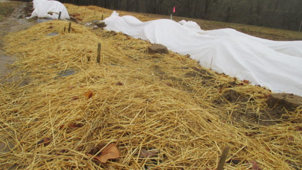 Strawberry Winter Protection: Straw Mulch vs. Row Covers