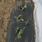 Figure 1. Cucumbers start to wilt following a night average soil temperature was 58 °F