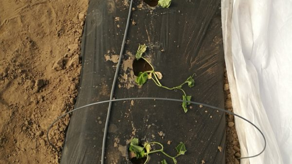 Check Soil Temperatures before Planting Cucumbers in a High Tunnel