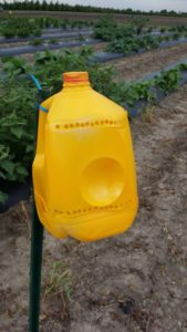 Figure 1. Yellow jugs trap cucumber beetles.