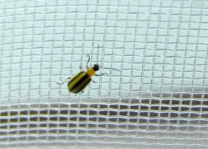 Figure 3. A cucumber beetle on the 0.7 x 1.0 mm screen (photo credit: John Obermeyer)