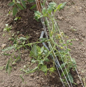 Figure. 3: Tomato plant in high tunnel. Dig the entire plant if practical.