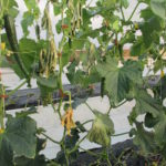 Figure 1. A cucumber plant grown in a high tunnel died because of bacterial wilt.