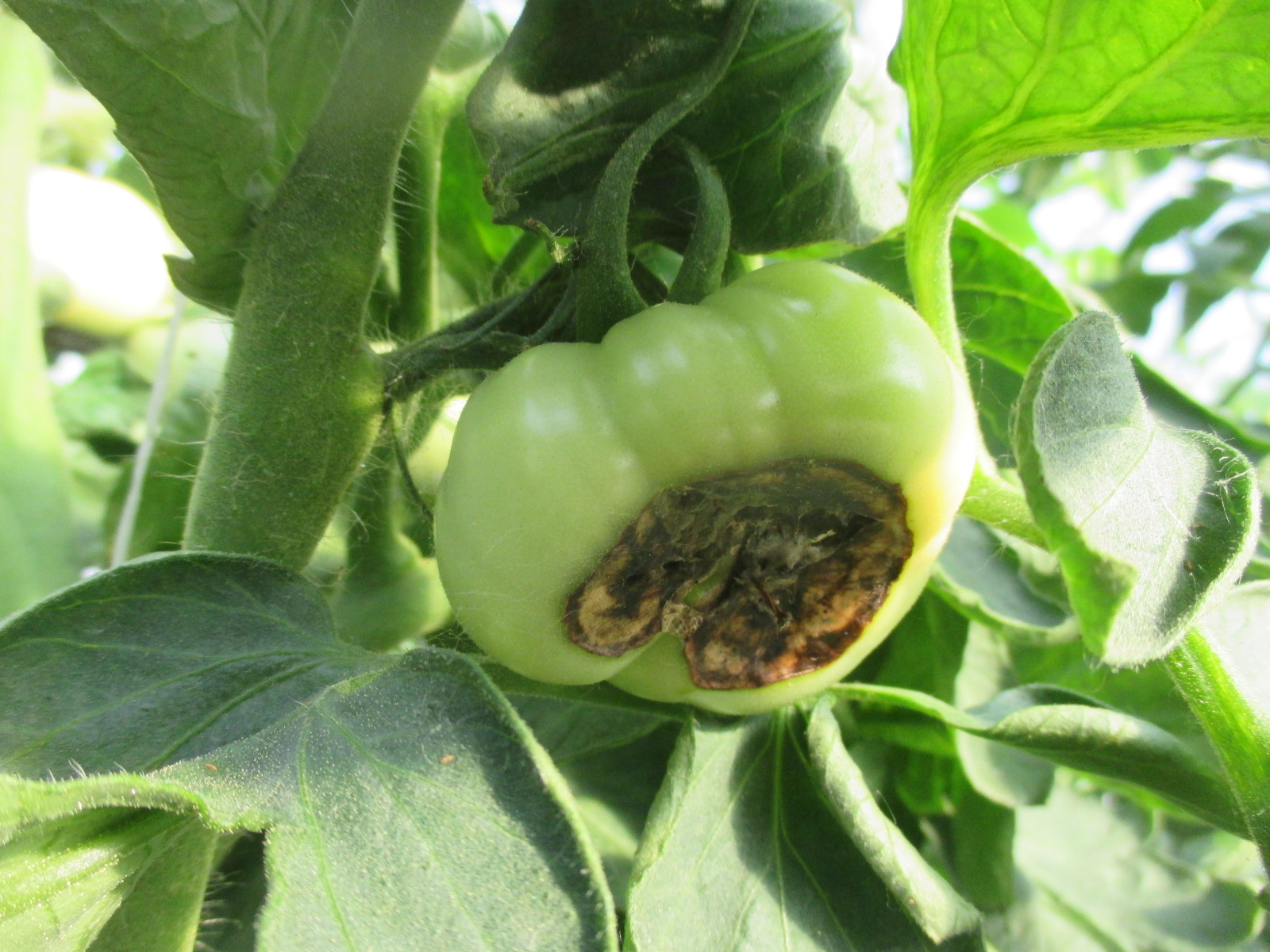 Figure 1. Blossom end rot of tomato.