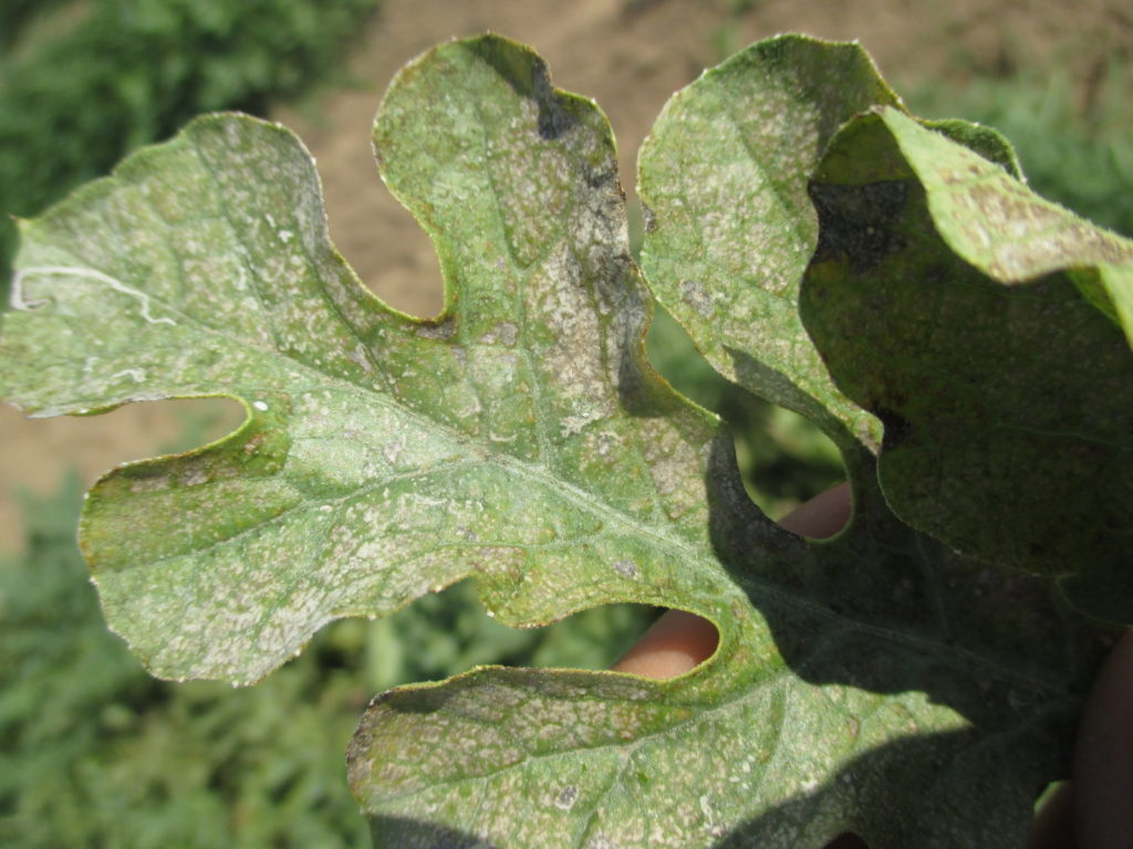 Figure 3. The symptom appeared on one seeded watermelon variety in our variety trials. It is similar to initial symptoms caused by ozone toxicity on watermelons.