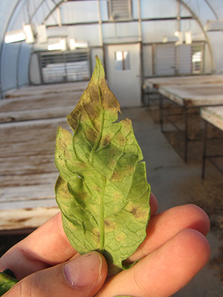 Underside of tomato leaf with Cercospora leaf mold. Note dark fungal growth.