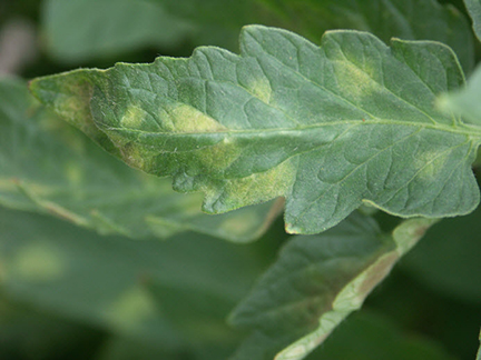 Figure 2: Lesions of leaf mold caused by P. fulva on tomato. Note indistinct chlorosis.