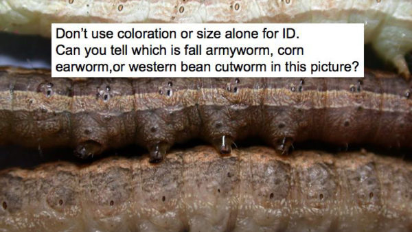 Know Your Worms in the Ear