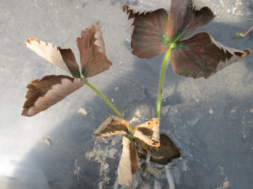 Figure 1. A server case of leaf burn under high temperatures.