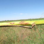 Lesions of Cercospora blight of asparagus are gray to tan and may have red borders.