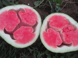 Figure 2. A severe case of hollowheart watermelon.