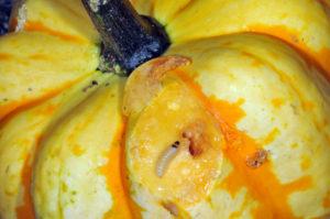 Figure 2. A larvae of squash vine borer feeds on a mature pumpkin fruit (Photo by John Obermeyer)