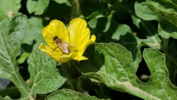 IPM Revisited: A Cost-effective Solution for Balancing Pest and Pollinator Management