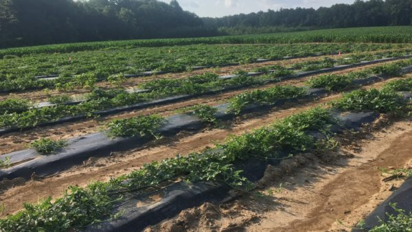 Survey of Watermelon Nutritional Status in Southern Indiana – Sulfur