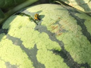 Figure 1. Striped Cucumber Beetle feeding on a watermelon.