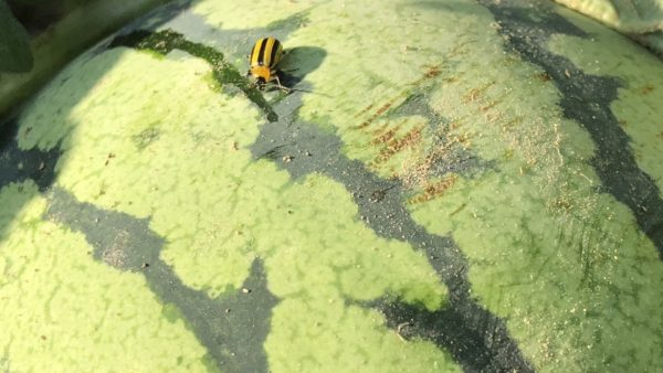 Striped Cucumber Beetles: Densities and Effective Scouting in Watermelons