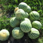 Figure 1. An orange-flesh watermelon with the tiger-striped rind pattern